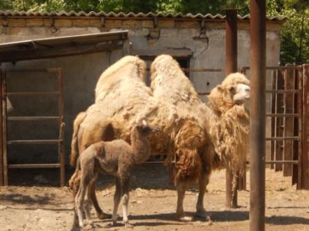 Родился верблюжонок, Одесса